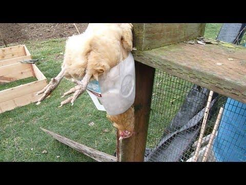 Chicken Slaughter in Milk Jug Hanger
