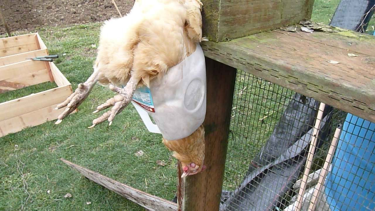 Chicken Slaughter In Milk Jug Hanger Youtube