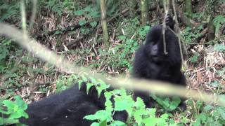 Researcher Captures Rare Footage of Wild Baby Gorillas Playing in Rwanda