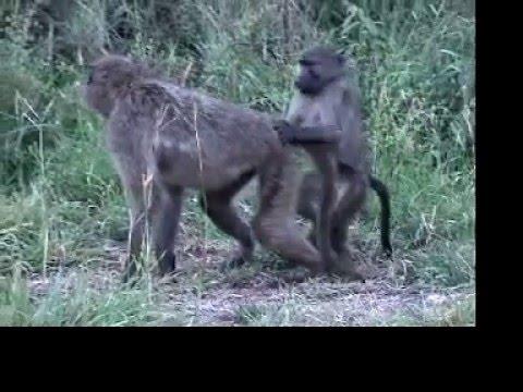 Fucking baboons