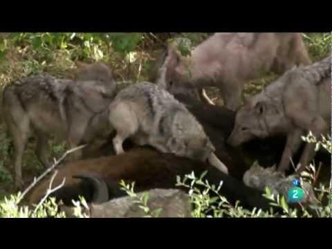 Lobos cazadores de b úfalos (La historia de Storm) [Documental Completo] HD