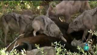 Lobos cazadores de búfalos (La historia de Storm) [Documental Completo] HD