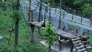 Happiness Village Baby Panda Garden 07-29-2018 00:30:50 - 01:30:50