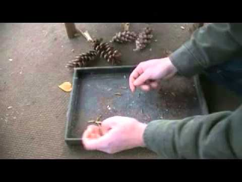 Where to Find and How to Plant Pine Tree Seeds