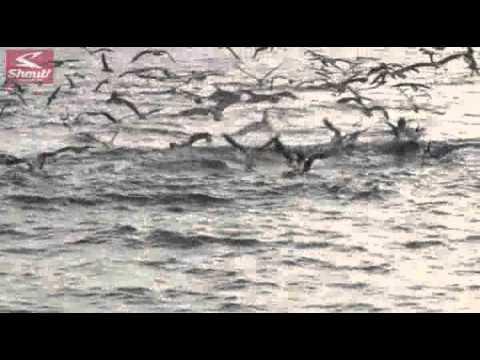 相模湾 キハダマグロを狙う!シャウトルアー&カーブポイント トレブル31