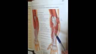 The Muscles of Forearm
