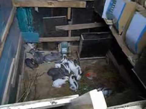 Разведение кроликов в ямах.