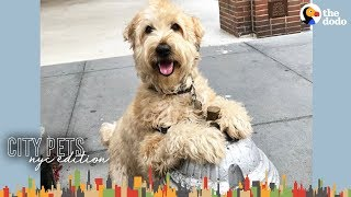 Popular Dog Knows Everyone In His NYC Neighborhood | The Dodo City Pets