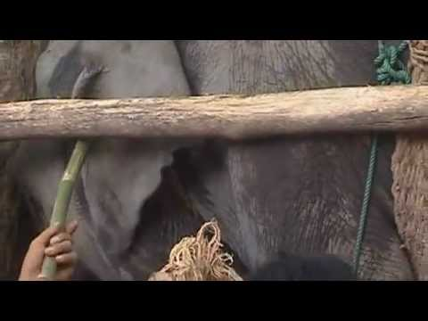Elephant training abuse (AAA video) in English
