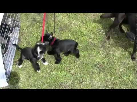 chiots chiens chinois cr te journ e du chien du moulin blanc. Black Bedroom Furniture Sets. Home Design Ideas