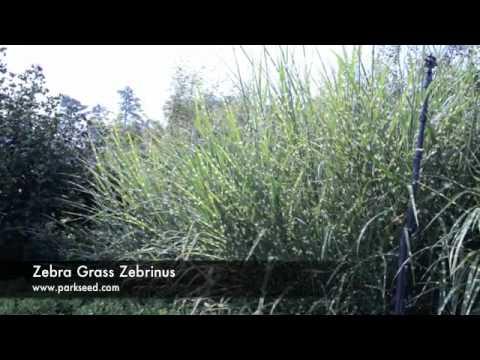 Zebrinus Ornamental Grass Zebra Grass Zebrinus