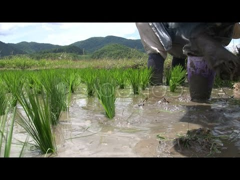 771635 Rice Farmer Planting Rural Green Field Paddies Crop Chiang Rai Thailand Asia  stock footage