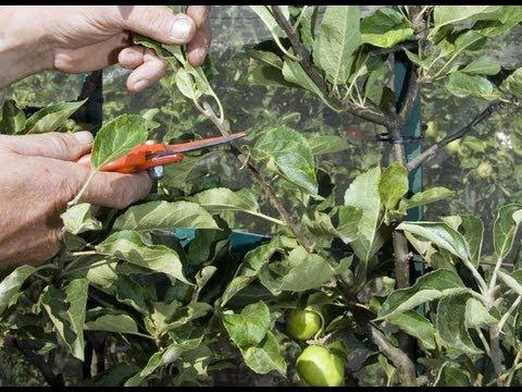 La taille en vert du pommier en u youtube - Arbre fruitier petite taille ...