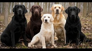 10 Things You Didn't Know About Labrador Retrievers