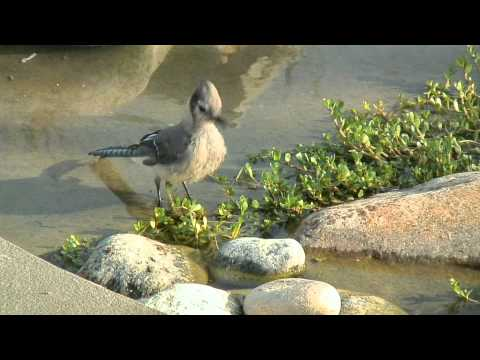 juvenile blue jay bathing in koi pond