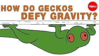 How do geckos defy gravity? - Eleanor Nelsen