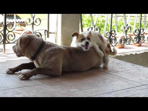 rumänische Hunde