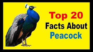 Peacock - Facts