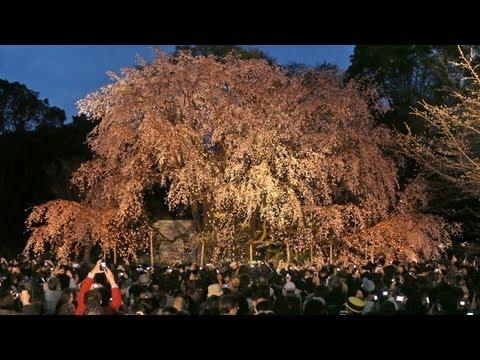 六義園でしだれ桜が満開