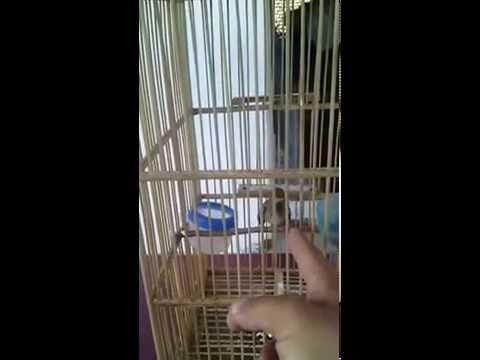 Kicau Burung Prenjak, Prenjak Tamu Petetan video