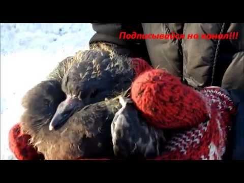 Уход за птенцами голубей
