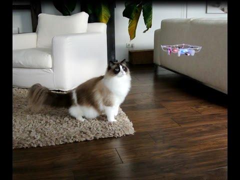 Timo the Ragdoll Cat vs Drone