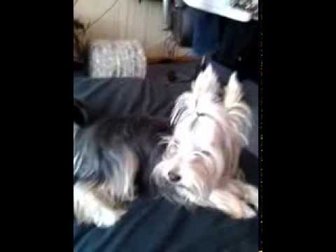 Наша звезда запела (Йоркширский терьер поет)(singing yorkshire terrier)