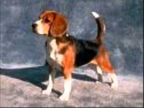 Top 10 Most Popular Breeds Of Dogs For 2010 Authorised By AKC