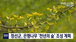 투/정선군, 은행나무 '천년의 숲' 조성 계획
