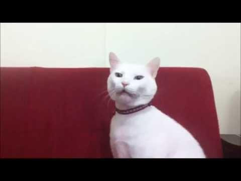 白猫がくしゃみを連発する姿がとってもキュート!