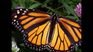 Monarch Butterflys - North American