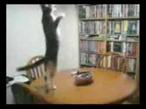 Хьовз е! Кот танцует лезгинку!