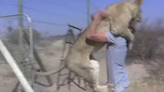 Lioness Befriends Trainer | Adorable Friendship