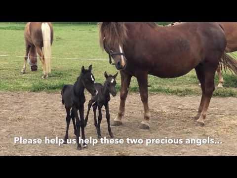 Лошадь родила Двойню. Большая редкость - близнецы-жеребята! Twin foals