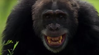 Chimpanzees Attack Young Male  | Life Story | BBC