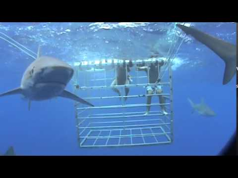 Cage diving With tiger Sharks Jaws School