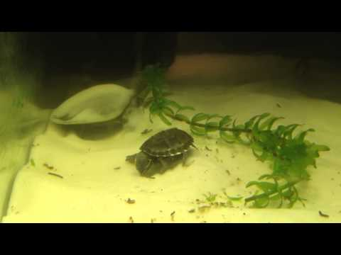 Baby soft shell turtle and musk turtle playing