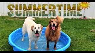 Cute golden Retriever Puppy Dogs Afternoon Playtime!