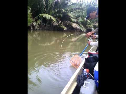 Pancing udang galah beluran - dapat ikan ubi