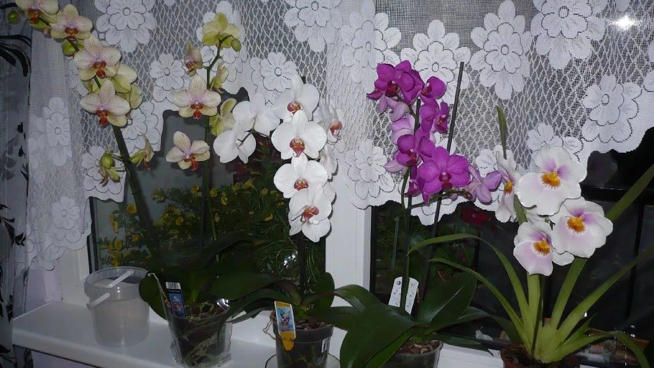 Орхидеи домашние в горшке. Уход в домашних условиях 83