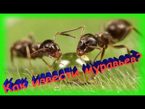 Летающие муравьи - хитрости борьбы