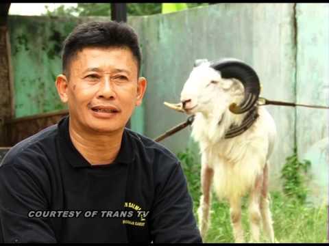 Adu Domba Garut & Victor Pangaribuan video