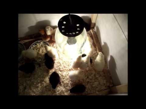 цыплята первый день жизни.