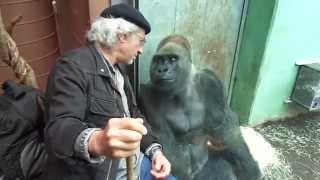 Gorilla Silverback Roututu meets his friend - Raymond Hummy Art - Sehnsucht - Desire