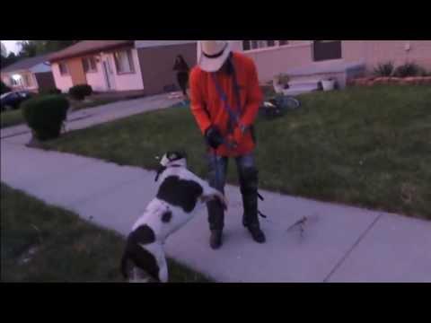 The dog whisperer pitbull fight