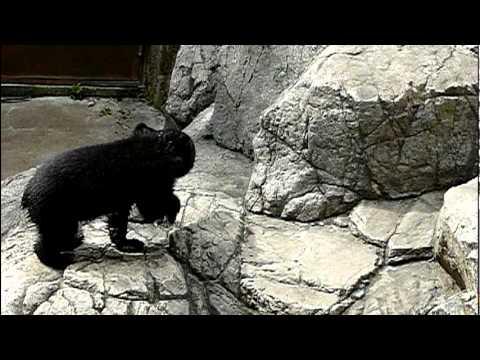 上野動物園のニホンツキノワグマの赤ちゃん。Baby Japanese black bear.#07