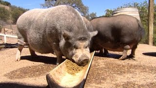 Pig rescue farm is hog heaven
