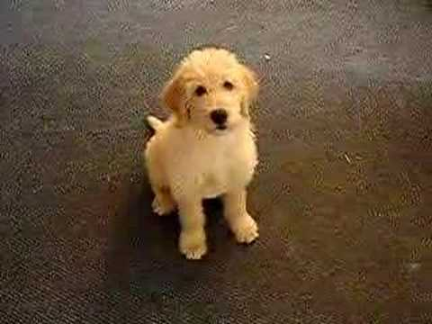 FUNNY DOG TRIPP THE DOODLE LABRADOODLE. Tripp as a puppy learning how to sit