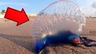 DİKKAT TEHLİKE; Sahilde Bu Hayvanı Görürseniz Hemen Kaçın.