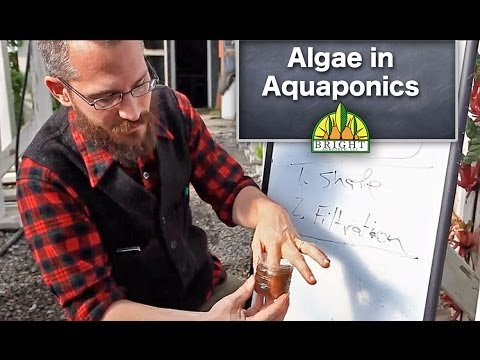 Algae In Aquaponics